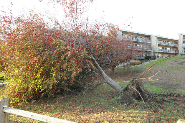 An uprooted tree from Hurricane Sandy at the Armstrong Court public housing complex in Greenwich, Friday afternoon, November 9, 2012. Photo: Bob Luckey / Greenwich Time