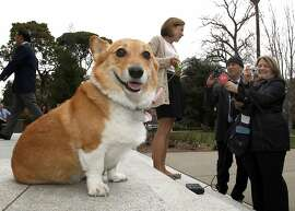 California First Lady Anne Gust Brown, background center,  officially announces Sutter as the First Family dog while talking with reporters on the steps of the Capitol, in Sacramento, Calif., Tuesday, Feb. 15, 2011. Sutter, a 7-year-old  Welsh Corgi had been the dog of Gov. Jerry Brown's sister until she took a job out of state. Sutter has his own Facebook page for friends to keep up on his activities.