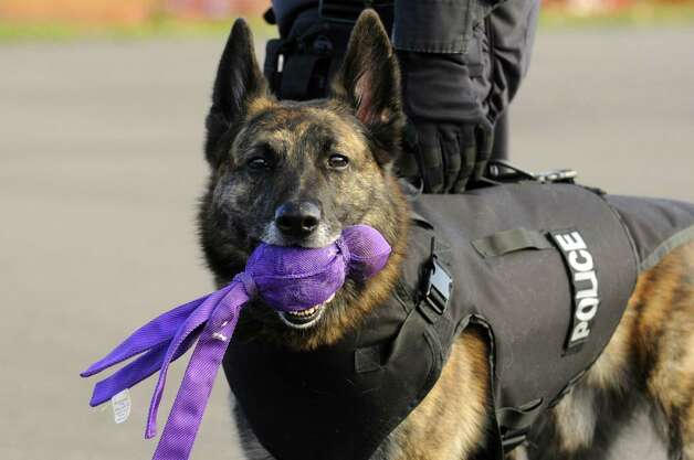UMass Police K-9 Diezel happily holds onto his chew toy after participating in a multi agency K-9 and mounted police law enforcement crowd control exercise at the  Rensselaer County Jail in Troy, NY Friday Nov. 9, 2012. (Michael P. Farrell/Times Union) Photo: Michael P. Farrell