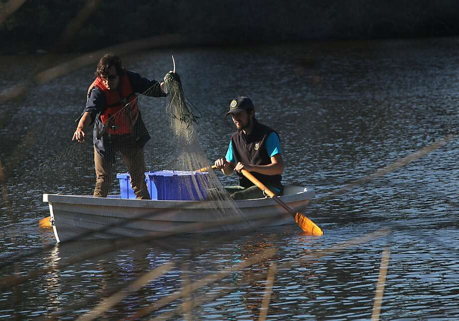 Jonathan Young (left) and Dave DuBose pull in gill nets squirming with nonnative fish as part of the effort to remove Mountain Lake's invasive species. Photo: Liz Hafalia, The Chronicle