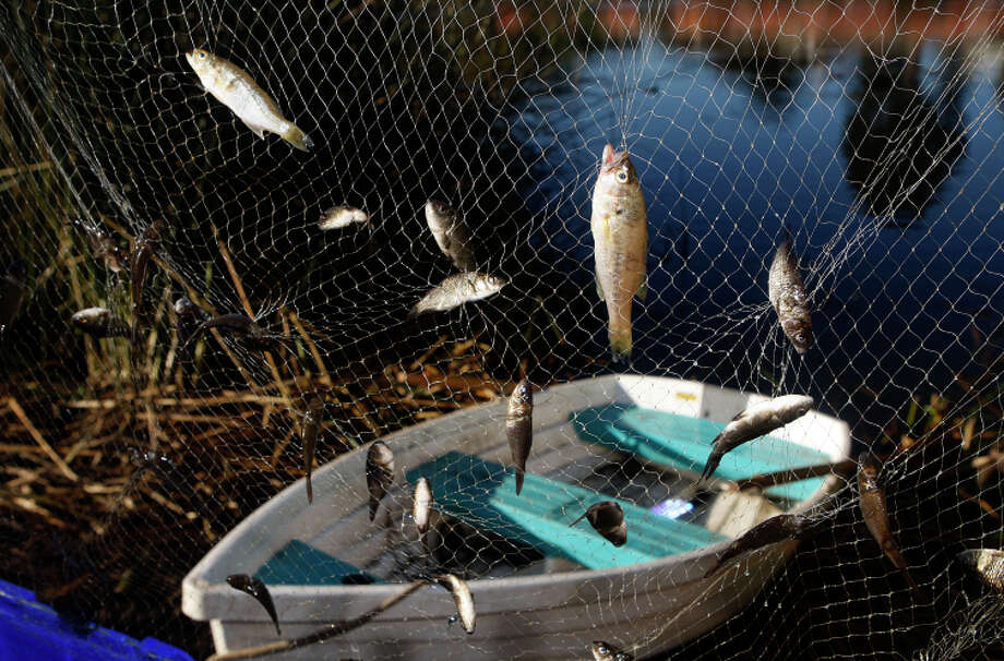 Mountain Lake fish are caught in gill nets as the Presidio Trust tries to remove nonnative species. Photo: Liz Hafalia / The Chronicle / ONLINE_YES