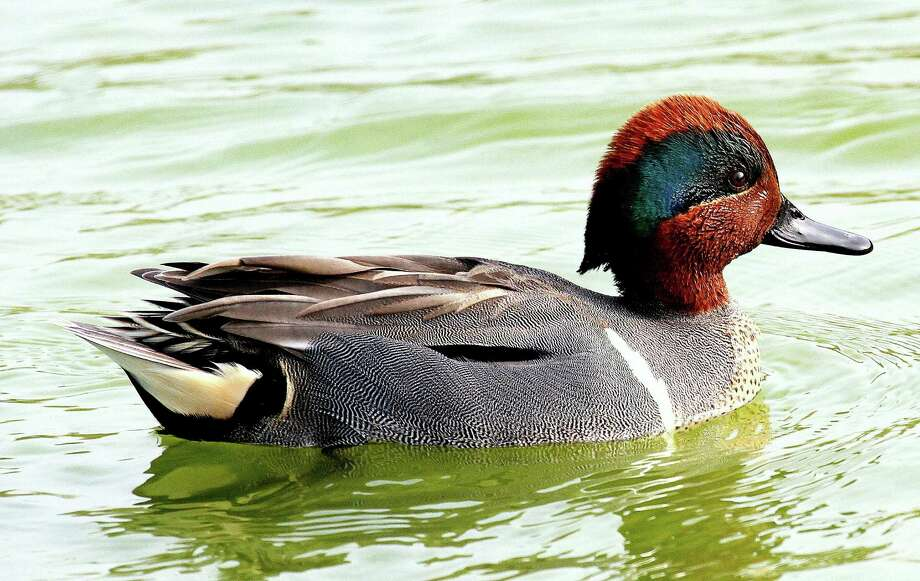 Drought in the Midwest could be behind the swarms of green-winged teal waterfowlers encountered on Texas coastal marshes and prairies during the first week of  duck season. Greenwings typically don't arrive in large numbers until December. Photo: Picasa