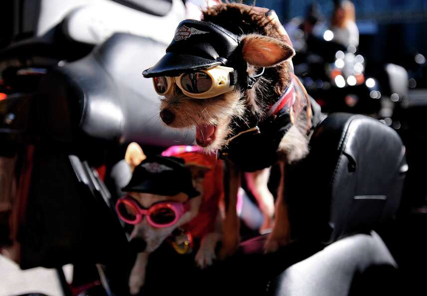 Chihuahas Duke, right, and Daisy, prepare to ride aboard their owner's Harley-Davidson motorcycle to