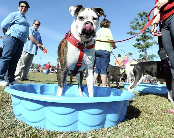 The American Cancer Society held their Bark for Life event at Tyrrell Park on Saturday, November 10, 2012.  This event brought out pups of all shapes and sizes.  Offering activities, contests, and a special walk for the dogs.  Shiner, a 6 year old boxer, loved taking a swim break after his walk for cancer. Photo taken: Randy Edwards/The Enterprise