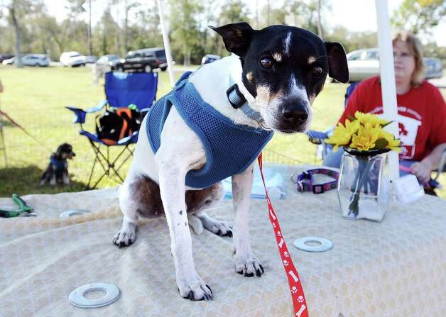 The American Cancer Society held their Bark for Life event at Tyrrell Park on Saturday, November 10, 2012.  This event brought out pups of all shapes and sizes.  Offering activities, contests, and a special walk for the dogs.  Snoops, a rescue dog with Sweet Pups, perched himself up on the table to get a better look at the whole event. Photo taken: Randy Edwards/The Enterprise