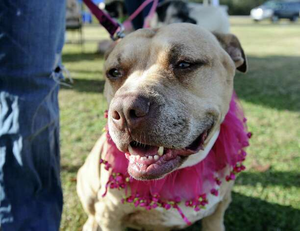 The American Cancer Society held their Bark for Life event at Tyrrell Park on Saturday, November 10, 2012.  This event brought out pups of all shapes and sizes.  Bella, a 9 year old pit bull and kidney cancer survivor, came out to tell her story that morning.  She also is one of the Paws for Love therapy dogs. Photo taken: Randy Edwards/The Enterprise