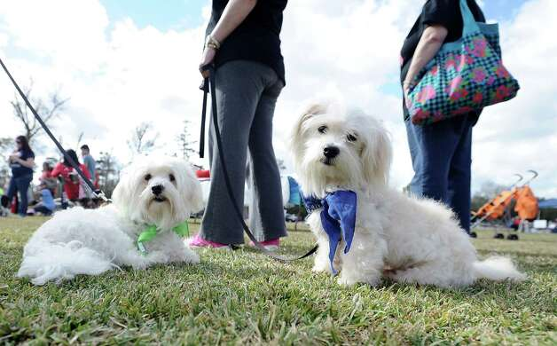 The American Cancer Society held their Bark for Life event at Tyrrell Park on Saturday, November 10, 2012.  This event brought out pups of all shapes and sizes.  Offering activities, contests, and a special walk for the dogs. Berkley and Bolt relax in the shade in anticipation for the next event. Photo taken: Randy Edwards/The Enterprise
