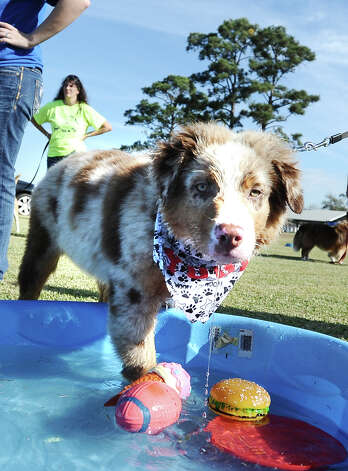 The American Cancer Society held their Bark for Life event at Tyrrell Park on Saturday, November 10, 2012.  This event brought out pups of all shapes and sizes.  Offering activities, contests, and a special walk for the dogs. Yogi graced us with his presence and also walked away with the cutest dog award. Photo taken: Randy Edwards/The Enterprise