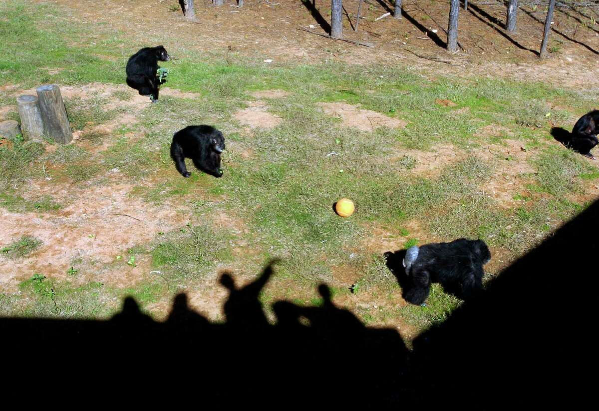 A group of chimpanzees eat as food is tossed into one of the habitat areas at Chimp Haven.