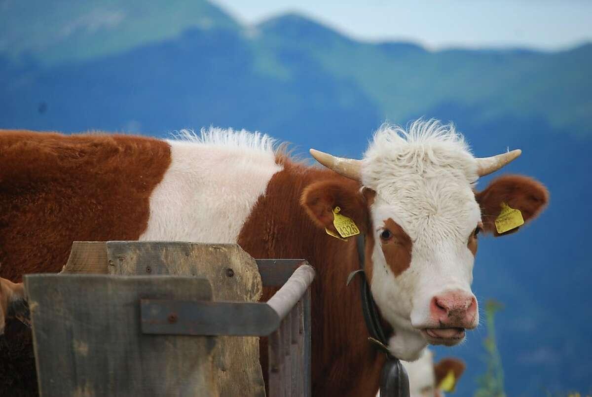 A cow relaxes on the La Malga Barbaria farm in the Veneto region in the hills near Venice.