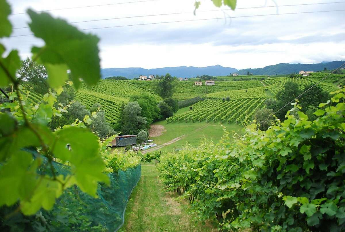 The vineyards at Da Ottavio, where nearly all the food in the tiny restaurant is produced on the property. The agriturismo farm is in the Veneto region in the hills above Venice.