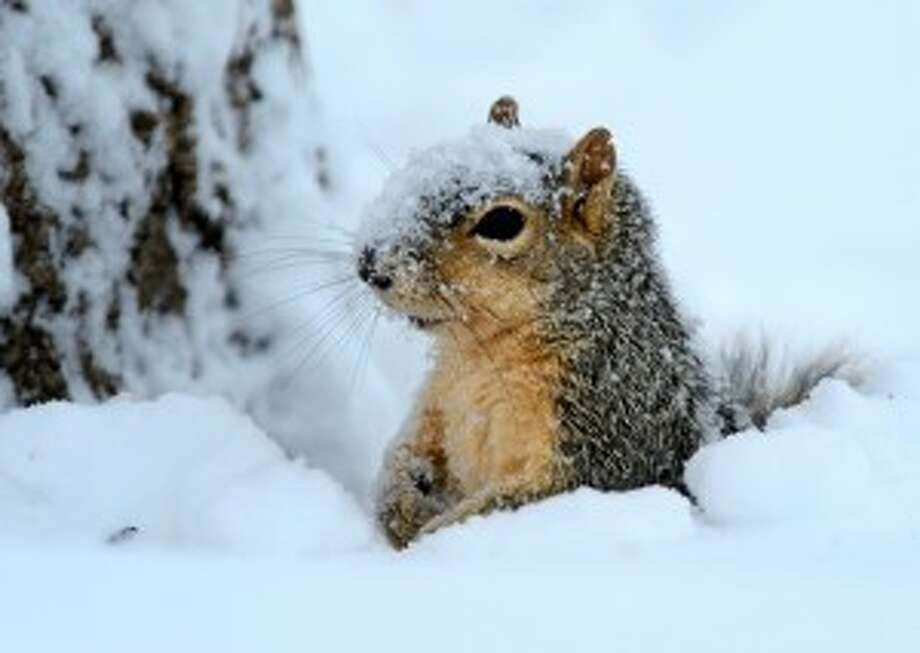 Celebrate National Squirrel Appreciation Day a day early at the Albany Pine Bush Discovery Center with a 1 mile hike to explore squirrel habitat and investigate the many signs they leave behind. 1 p.m. Sunday. Click here for information. (AP photo)