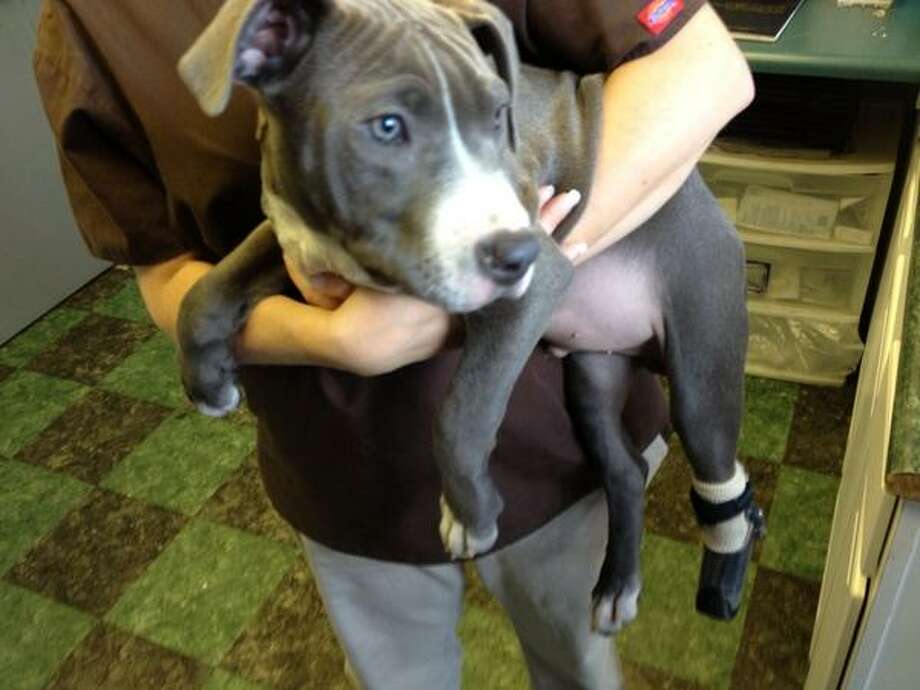 Hudson, a pitbull puppy discovered injured in Albany, was fitted with a prosthetic leg on Monday, Nov. 12, 2012. (Bryan Fitzgerald/Times Union)