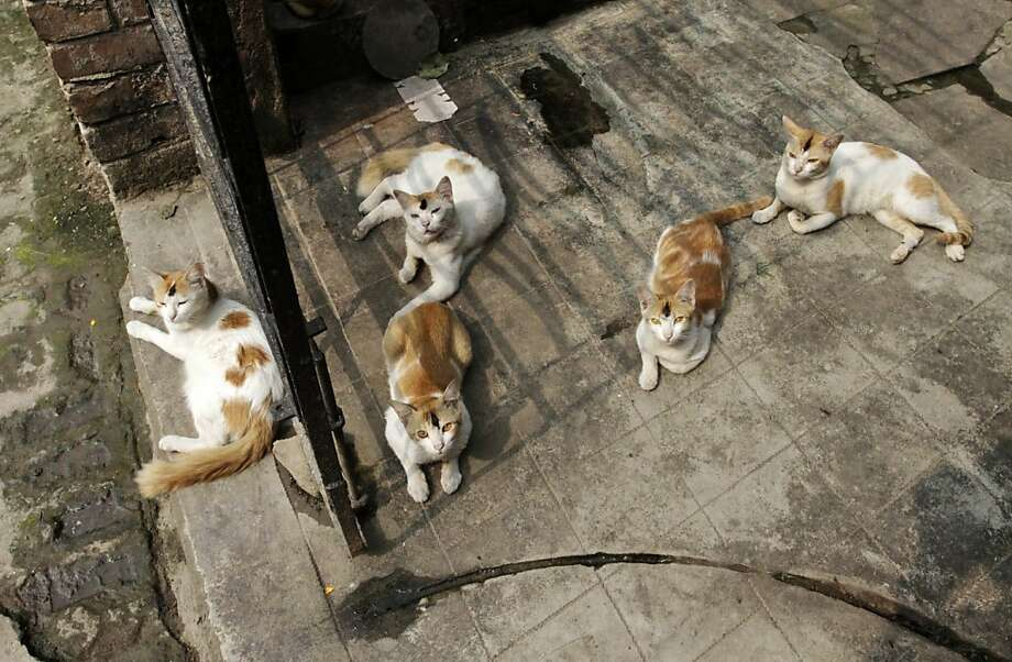 We all have the same dad: Cats with similar markings sun themselves in an alley in Kolkata. Photo: Bikas Das, Associated Press