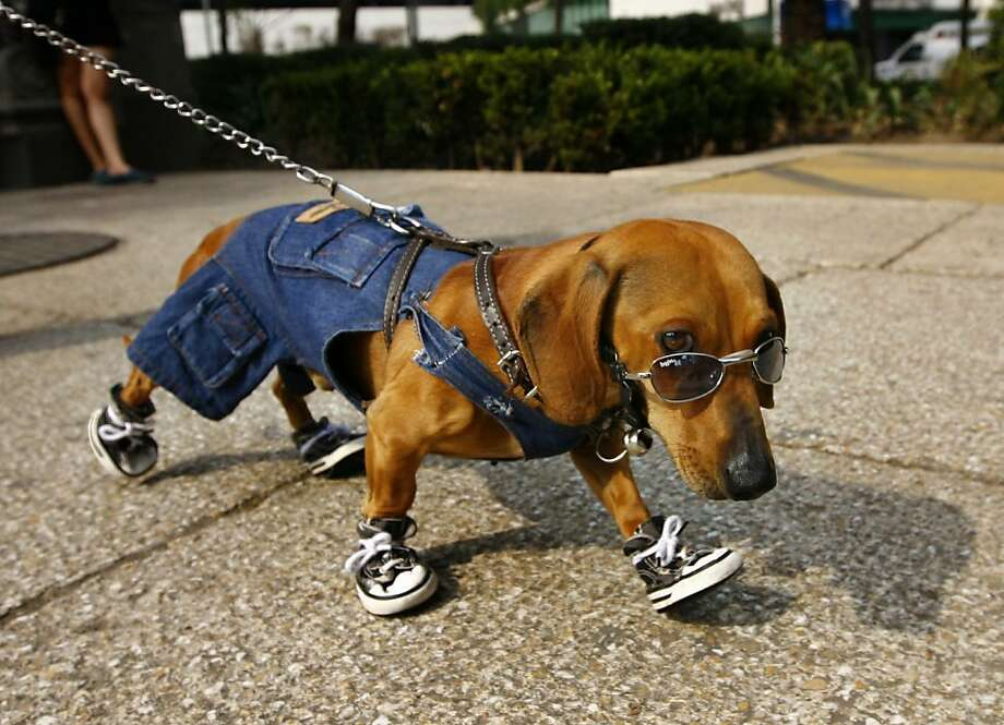 "He must be a working breed:Coffee the dachshund strolls down Reforma Avenue in Mexico City in his bib overalls during ""bicycle Sundays."" Photo: Marco Ugarte, Associated Press"