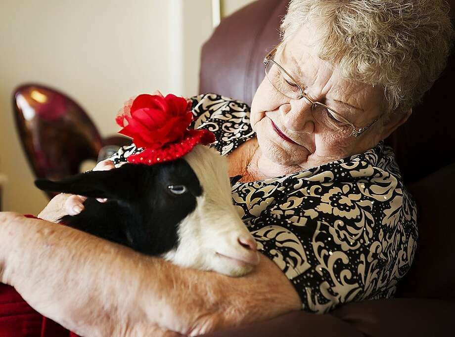 Grannies love a nanny: Gigi provides some creature comfort for Jean Clausen at the Gateway Senior Living community in Lincoln, Neb. The goat has been trained as a therapy animal to entertain and cheer up the residents. Photo: Kristin Streff, Associated Press