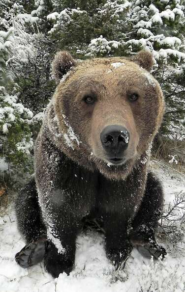 Spare the bear day: This is either Griz or Yosemite, grizzlies owned by Animals of Montana, a
