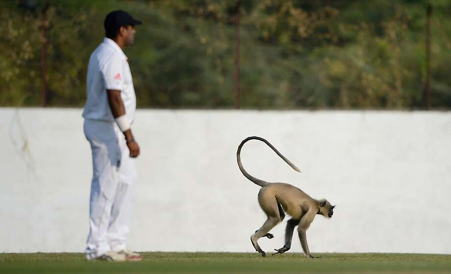 Well, this isn't cricket: An interloper interrupts the tour match between England and Haryana at Sardar Patel Stadium in Ahmedabad, India. Photo: Gareth Copley, Getty Images