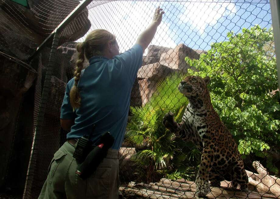 Carnivore keeper Angie Pyle plays with Cocoy, a fifteen-old-jaguar, at the Houston Zoo on Tuesday, July 31, 2012, in Houston. ( J. Patric Schneider / For the Chronicle ) Photo: J. Patric Schneider, Houston Chronicle / © 2012 Houston Chronicle