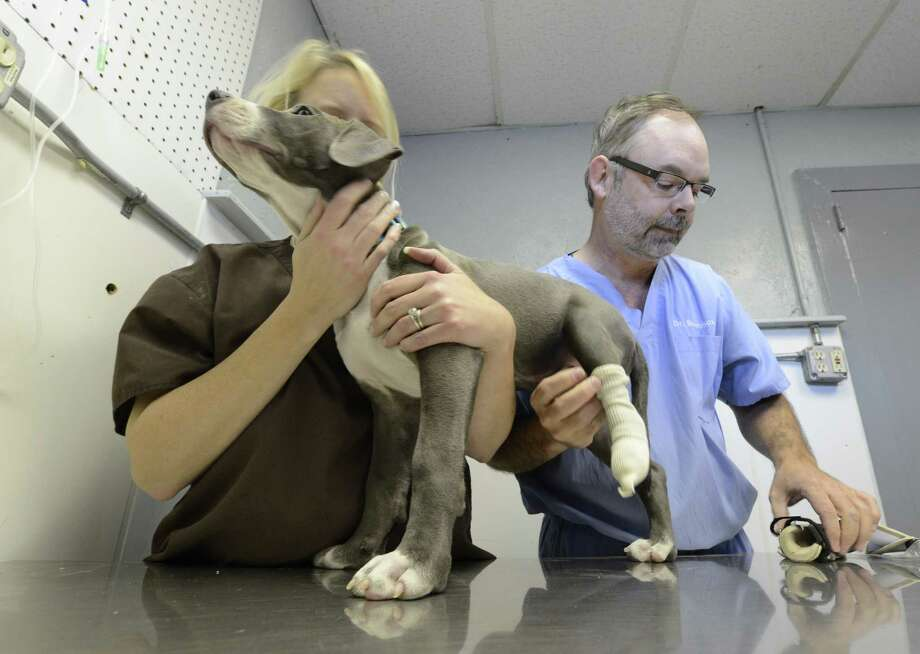 Dr. Tom Bowersox applies the new prosthetic paw to Hudson with the help of Animal Welfare Manager Nancy Haynes at the Hudson Mohawk River Humane Society headquarters in Menands, N.Y. Nov 12, 2012.  (Skip Dickstein/Times Union) Photo: SKIP DICKSTEIN