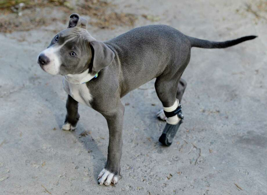 After receiving his new prosthetic paw to Hudson stretches his legs at the Hudson Mohawk River Humane Society headquarters in Menands, N.Y. Nov 12, 2012.  (Skip Dickstein/Times Union) Photo: SKIP DICKSTEIN