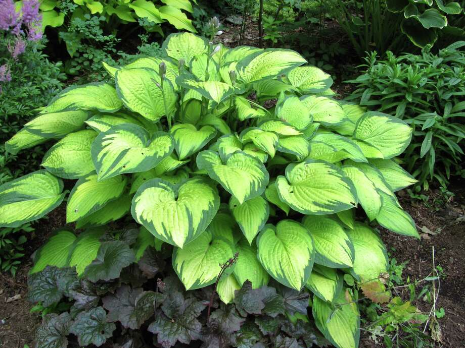 "Hosta ""Gold Standard"" with heuchera is shown here. The Garden and Landscape Trail brochure lists 39 Connecticut GardenStars -- plants which perform well here and are available at trail nurseries. Hosta and heuchera are among those plants. Photo: Contributed Photo"