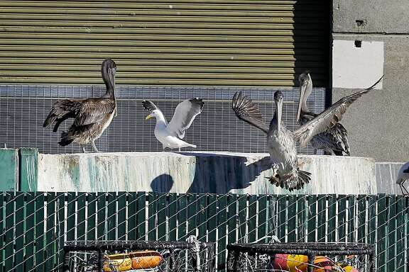 Brown pelicans and gulls hang around a seafood dumpster and crab pots waiting for a meal near Pier 45. At Fisherman's Wharf and Pier 45 in San Francisco, Calif., everyone is awaiting the opening of the commercial Dungeness crab season although early indications are the season won't be as good as last year.