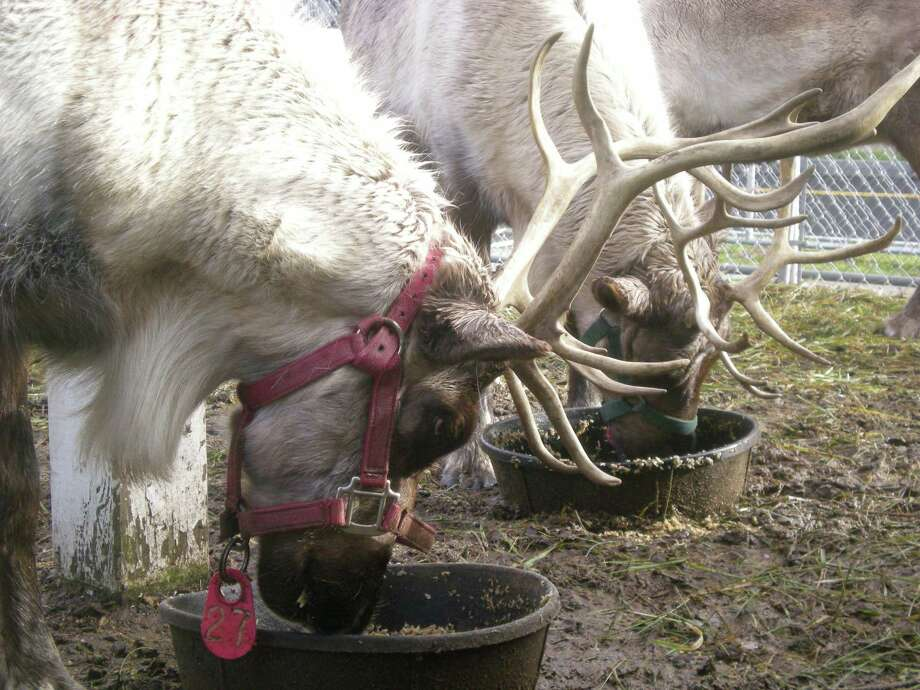 Join Santa Claus and his trusty steeds for the Greenwich Reindeer Festival from Saturday, Nov. 23 through Dec. 24. Photo: Contributed Photo