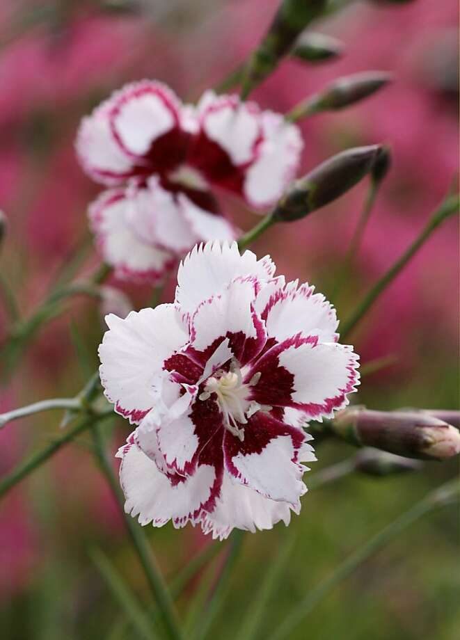Among the varieties of dianthus is 'Lady Granville.' Photo: Annie's Annuals & Perennials