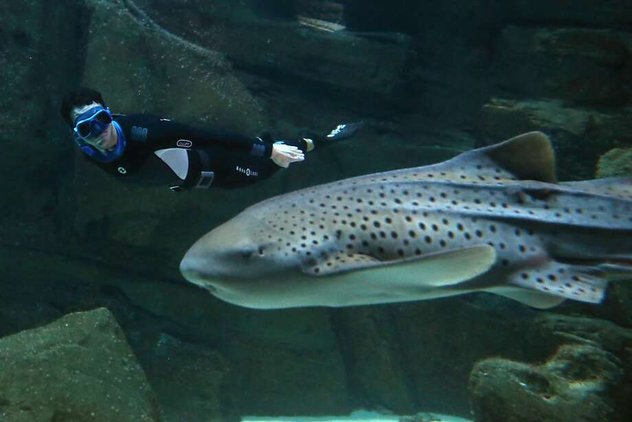 Swimming with the sharks:Four-time apnea world record holder Pierre Frolla dives near a zebra shark in the Aquarium of Paris. Frolla swam with 25 sharks, including 16 fearsome blacktips, to bring attention to the plight of sharks. Some 30 million to 70 million are captured and killed each year, many for their fins. Photo: Thomas Samson, AFP/Getty Images