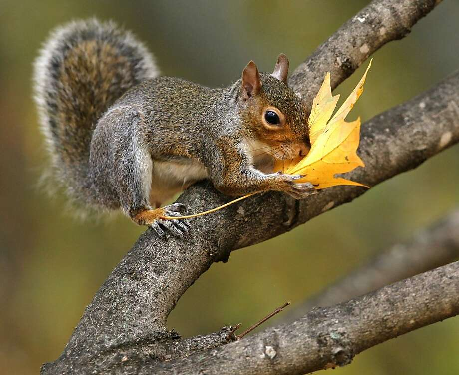 Squirrel does not live by nut and acorn alone: He needs to lick a maple leaf from time to time for the sugar fix. (Clemson University campus, S.C.) Photo: Ken Ruinard, Associated Press