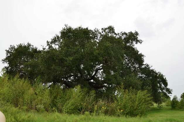 Mature oak trees and thick native areas pose problems for inaccurate golfers at River Bend Golf Club. Photo: LeAnna Kosub, Express-News
