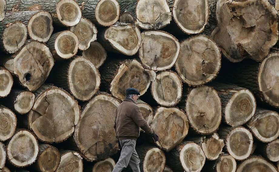 A man walks past cut trees in Duisburg, Germany, Tuesday, Nov. 13, 2012. While temperatures in Germany drop, these tree trunks wait to be dried. Photo: Frank Augstein, Associated Press