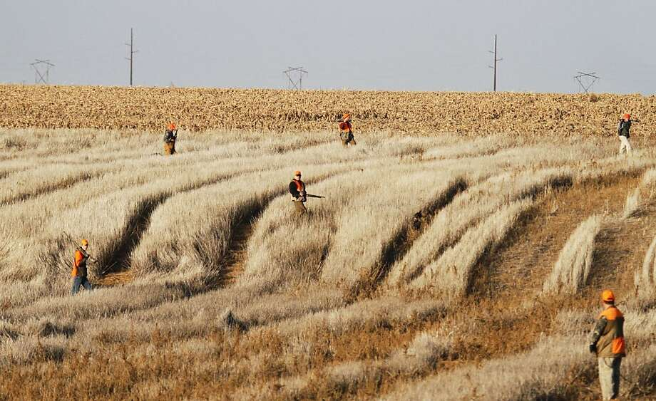 A group of hunters work a field on opening of pheasant season in western Kansas, November 10, 2012. Photo: Michael Pearce, McClatchy-Tribune News Service