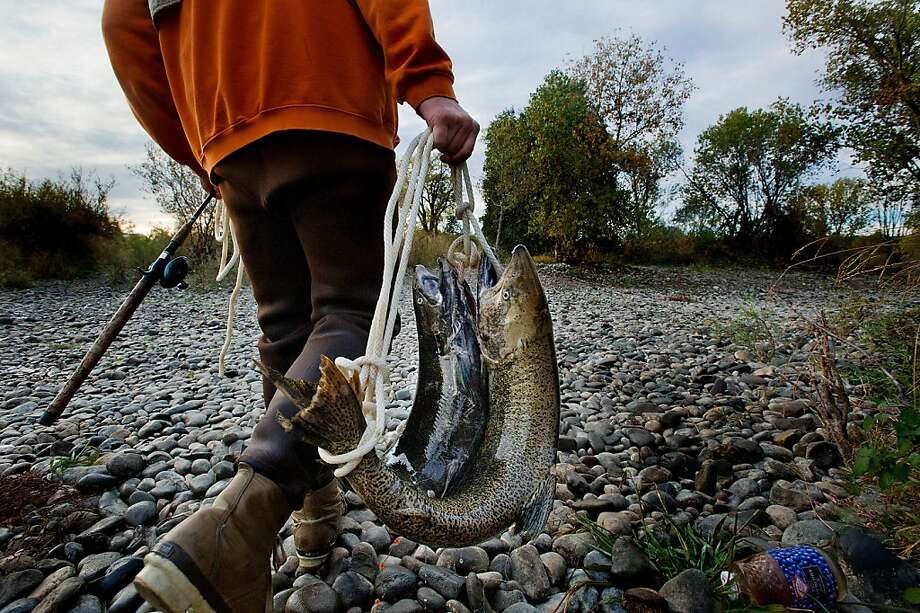 Salmon fisherman Jeff Kope of Fair Oaks, California, carries away his limit for the day just below Nimbus Dam in Gold River on Tuesday, November 13, 2012. Photo: Randall Benton, McClatchy-Tribune News Service