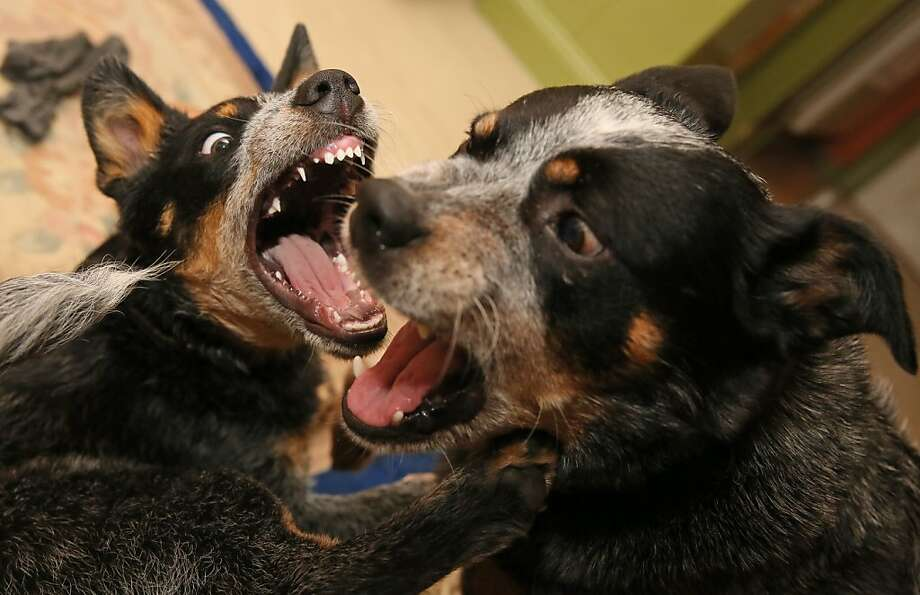 It's a dog-eat-dog worldin Wolfgang Grensen's apartment in Luebeck, Germany. Without any cows to round up, Grensen's Australian cattle dogs Seven and Harlekin try to herd each other. Photo: Ulrich Perrey, AFP/Getty Images