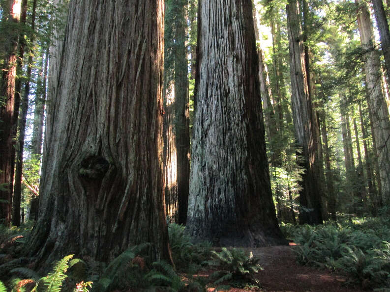 Stout Tree and friend at Jedediah Smith Redwoods (Tom Stienstra/The Chronicle)