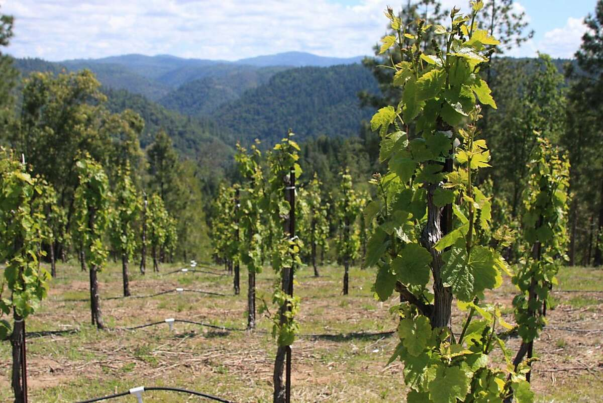Gamay Noir vines at the Barsotti Ranch in Camino, Calif., above the American River canyon.