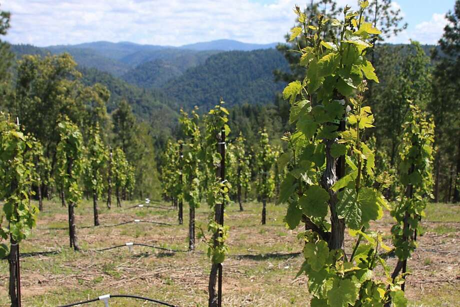 Gamay Noir vines grow on the Barsotti land high above the American River, which features decomposed granite and porphyry, which is not unlike Beaujolais' northern hillsides. Photo: Jon Bonné, The Chronicle