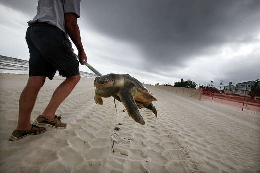 WAVELAND, MS - APRIL 14:  A dead sea turtle is carried out of the surf by Donald Tillman April 14, 2011 in Waveland, Mississippi. Local turtle activists Donald and Shirley Tillman say they have discovered 19 dead sea turtles in Mississippi in the month of April alone and suspect they are dying due to the effects of the BP oil spill. Endangered sea turtles and dolphins are still dying in high numbers in Mississippi, which continues to be impacted by tar balls and weathered oil. There have been 67 reported sea turtle deaths through April 11. April 20th marks the one-year anniversary of the worst environmental disaster in U.S. history. Photo: Mario Tama, Getty Images / 2011 Getty Images
