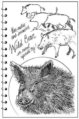 wild boar/Backyard Naturalist