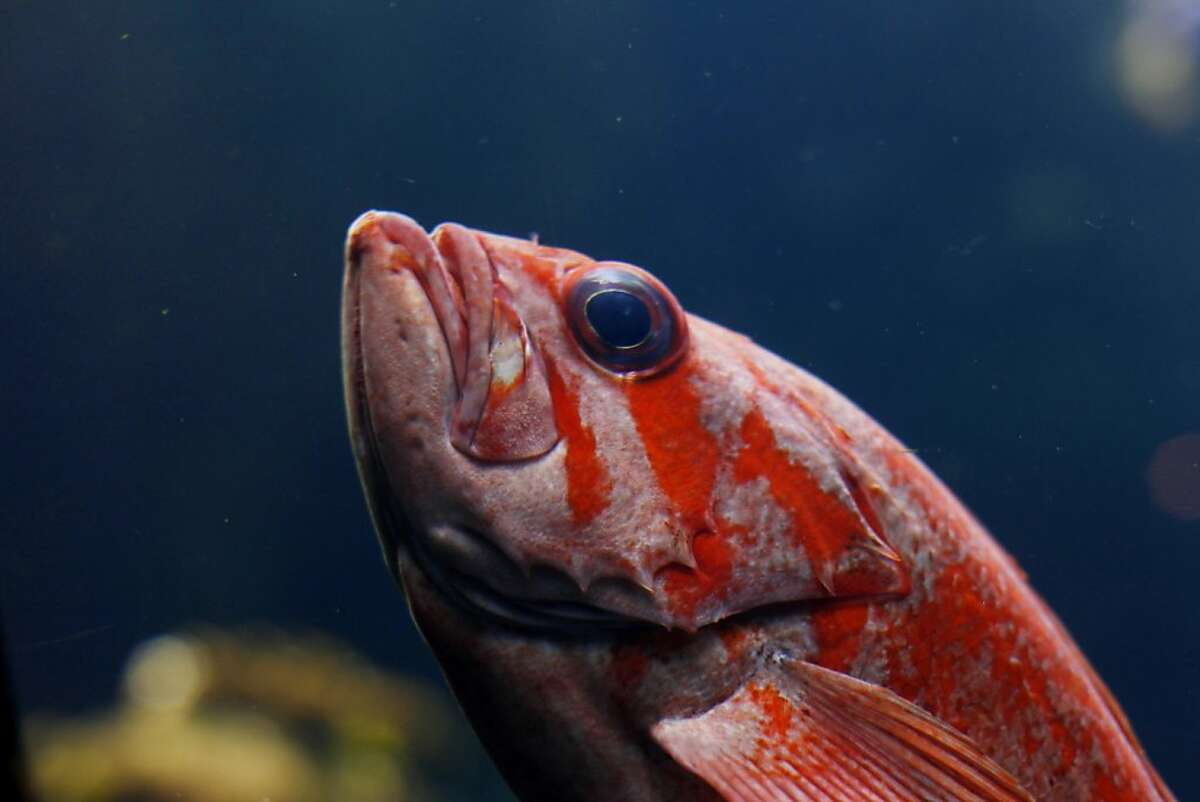 A vermillion rockfish in the aquarium at the California Academy of Sciences on Thursday, November 15, 2012 in San Francisco, Calif.