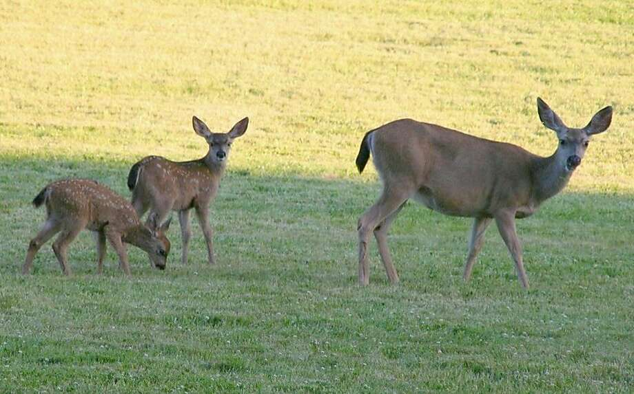 "A doe with fawns, above, roaming through a meadow near a picnic area in Palo Alto's Foothills Park, and a buck, below, hiding in nearby brush are examples of ""suburban deer."" Photo: Susan Vance, Courtesy"