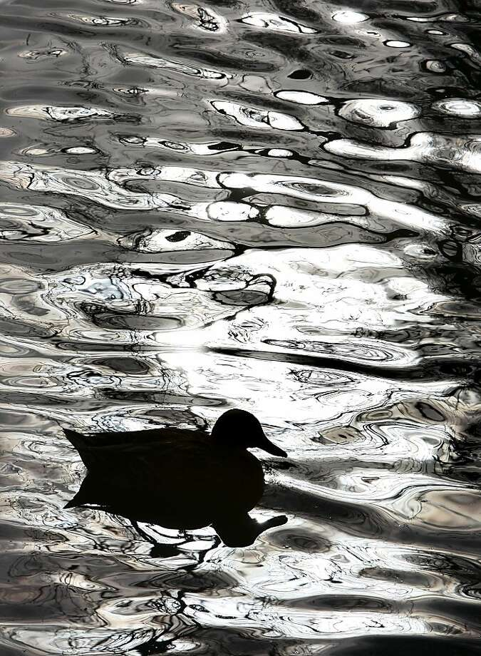A duck swims in a pond at Roselawn Memory Gardens cemetery in Bethalto, Ill., Thursday Nov. 15, 2012. The pond is home to dozens of different ducks, geese and trumpeter swans, which have become accustomed to people who frequently stop to feed them bread. Photo: John Badman, Associated Press