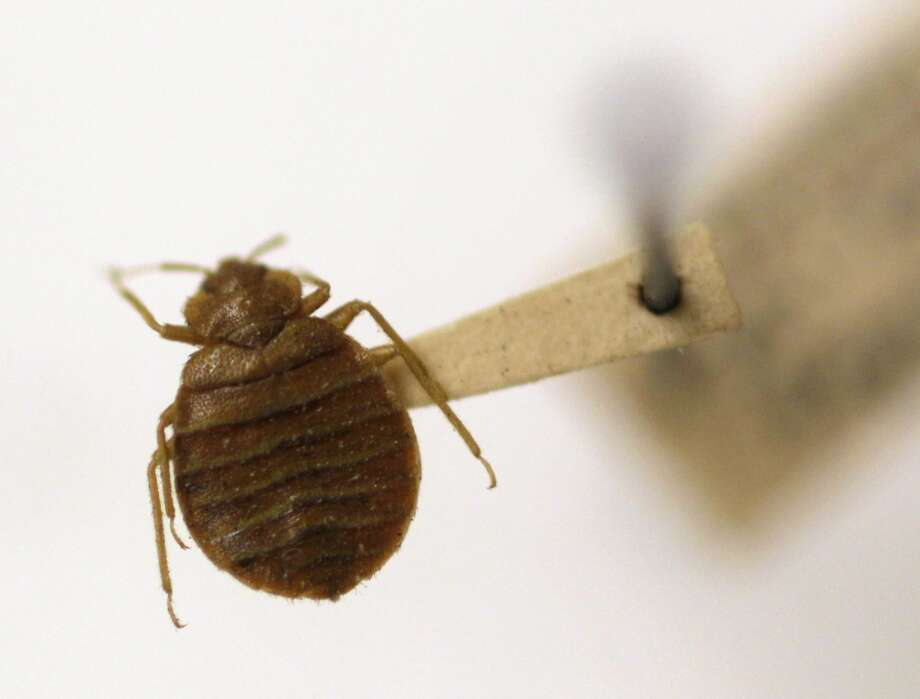 FILE - In this Wednesday, March 30, 2011 file photo, a bed bug is displayed at the Smithsonian Institution National Museum of Natural History in Washington. A government study counted one death and 80 illnesses linked to bedbug-targeting insecticides used from 2008 through 2010. Many were do-it-yourselfers who misused the chemicals or used the wrong product. Most of the cases were in New York City, the apparent epicenter of a recent U.S. bedbug comeback. (AP Photo/Carolyn Kaster, File) Photo: Carolyn Kaster, Associated Press