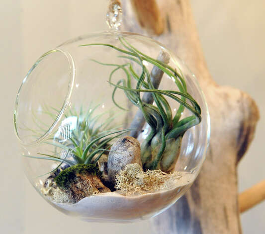An air plant terrarium selling at $46 at the The Botanic Studio on Friday, Nov. 9, 2012 in Troy, N.Y. (Lori Van Buren / Times Union) Photo: Lori Van Buren