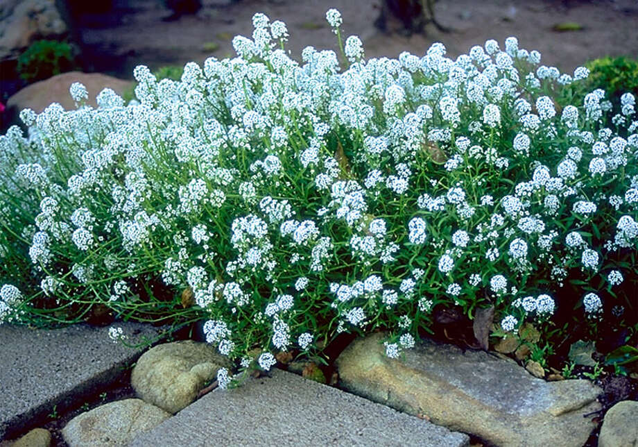 Now is the time to plant cool-season annuals such as alyssum. Photo: Horticopia