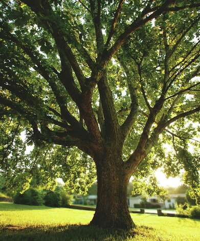 The chinquapin oak is a good shade tree for Central and South Texas. Photo: Oscar Williams / © 2006 Oscar Williams All Rights Reseverd by Copyright For Usage information contact Oscar Williams Phone: 210/229.9997 or