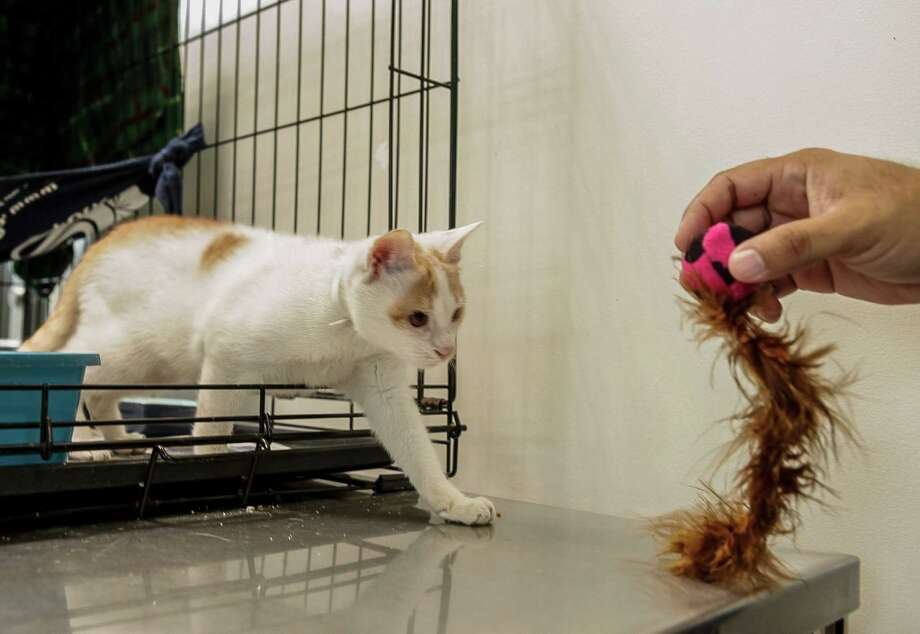 Ni Hao, a stowaway kitten from Shanghai, uses his left leg to exit his cage to approach a toy at the Los Angeles County Animal Care Control Carson Shelter in Gardena, Calif. When a cat really wants something, tests show it uses its dominant paw, but when it's just fooling around, it may use either or both. Photo: Damian Dovarganes, STF / AP