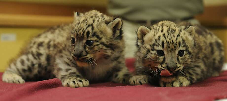 Tastes a lot like towel to me: Here's another look at the Chattanooga Zoo's newborn snow leopard cubs, Maliha and Everest, exploring an unfamiliar habitat with their tongues. Photo: Allison Love, Associated Press
